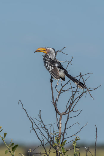 Low angle view of yellow-billed hornbill on dried plant against clear sky