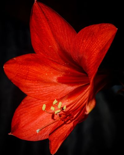 Red Lily ... Red Lily Lily Petal Flower Red Nature Flower Head Growth Fragility Close-up Black Background Freshness Stamen Beauty In Nature No People Outdoors Hibiscus