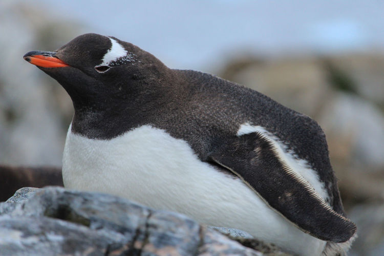Penguin Animal Themes Animal Animal Wildlife Bird Animals In The Wild One Animal Vertebrate Focus On Foreground Close-up No People Day Nature Rock Young Bird Young Animal Solid Outdoors Rock - Object Side View Animal Family Travel Travel Destinations Antarctica Penguin Colony Close-up Shot Close-up Animal