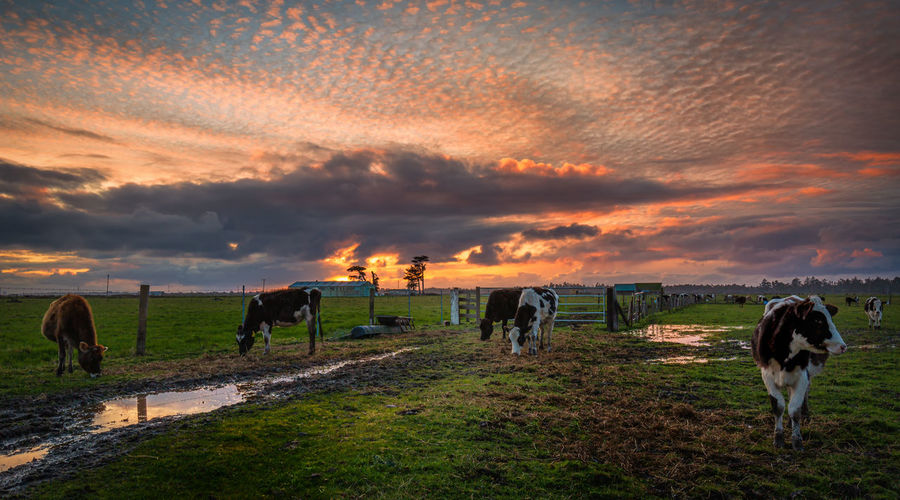 Horses grazing in field during sunset