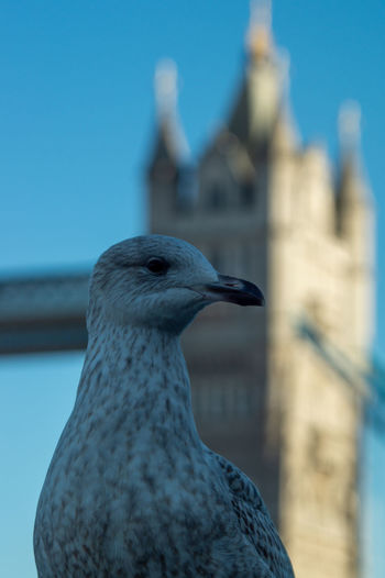 Seagull on south bank of the thames in foreground with the tower bridge in the background