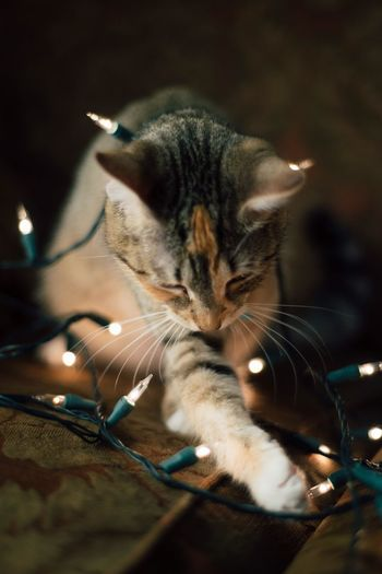 Close-Up Of Cat Playing With Christmas Lights