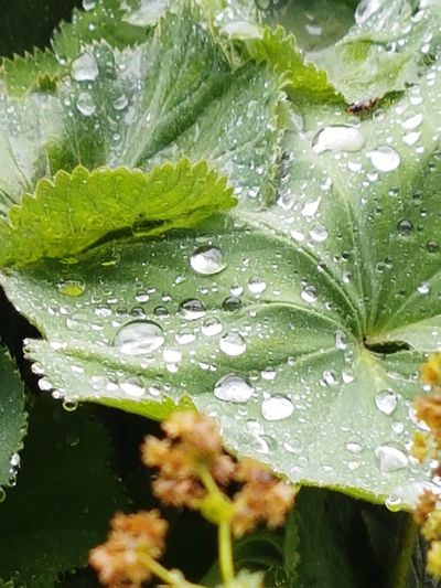 Raindrops On Leaves Large Leaves Water Leaf Drop Wet High Angle View Close-up Plant Green Color RainDrop