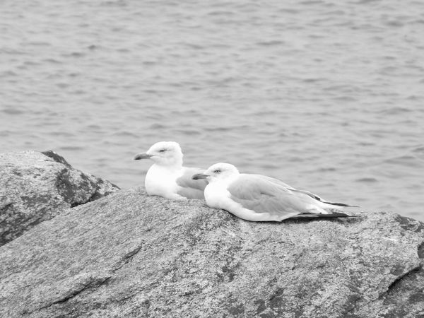 BnW birds couple Two Seagulls At Rest Black And White Group Of Birds Looking The Same Direction Ocean Theme Couple On Rock Seagull Together Two Birds White And Grey Birds Eyeem Best Shots - Birds EyeEm Best Shots - Black And White
