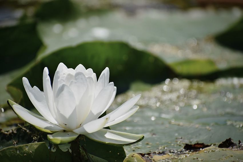 White flower on Lilly pad on Cody lake Water Flower Freshness Beauty In Nature Lake Vulnerability  Fragility Water Lily Plant Close-up Growth Flowering Plant Nature Petal Leaf Flower Head Plant Part Inflorescence Floating On Water No People