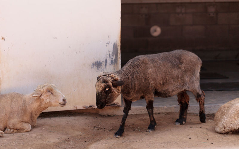 Karakul sheep Oveja karakul is one of the oldest sheep breeds. This breed first lived in Central Asia. African Elephant Animal Animal Themes Animals In The Wild ASIA Calf Day Domestic Animals Elephant Farm Hoofed Mammal Karakul Sheep Mammal Nature No People Outdoors Oveja Karakul Sheep Togetherness