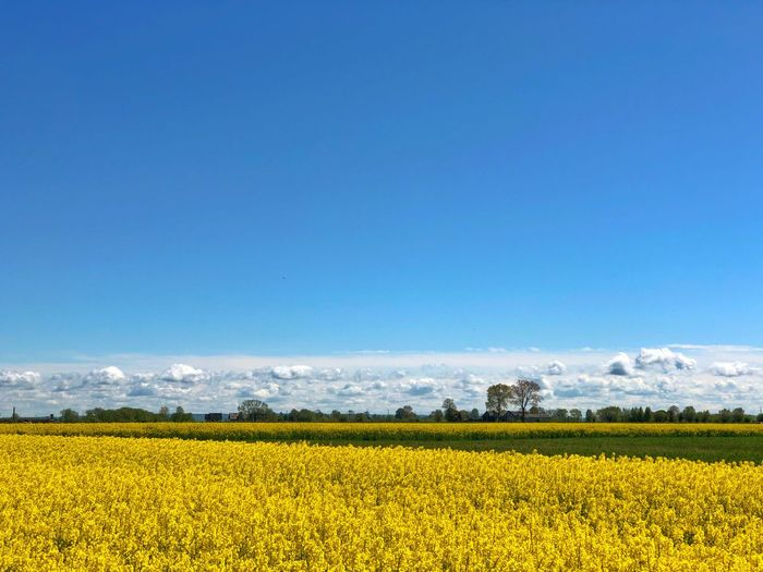 Field Colza Rapeseed Yellow Nature Sky Horizon Blue Landscape Agriculture Flower Beauty In Nature Rural Scene Tranquil Scene Plant Land Scenics - Nature Environment Oilseed Rape Tranquility Crop  Flowering Plant Copy Space Farm No People Springtime Outdoors