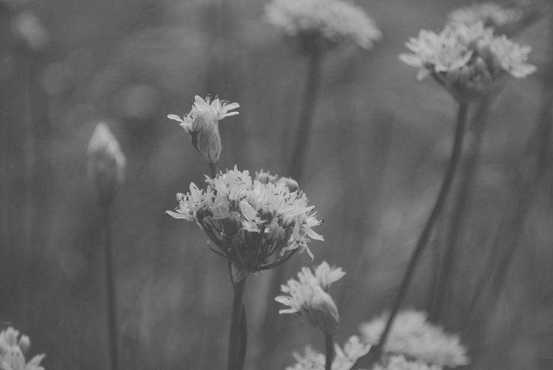 Flower Plant Nature Flower Head Plant Stem Beauty In Nature Wildflower No People Freshness Day макросьёмка Енисей Enisey цветок  Krasnoyarsk красноярск Природа макро макросъемка черно-белое Bw дикое растение