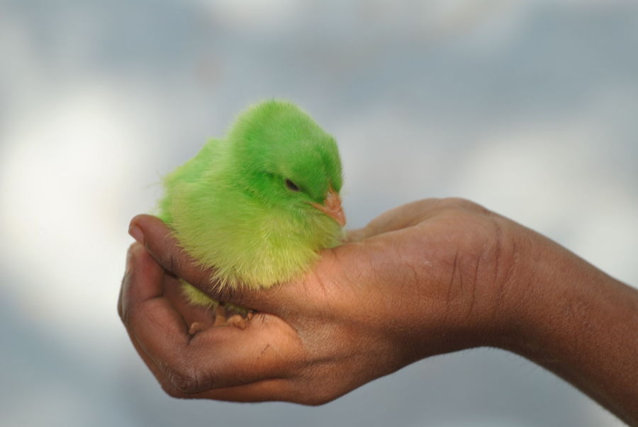 Human Hand Human Body Part Holding Close-up One Person Animal Themes Care One Animal Bird Green Color People Budgerigar Gripping Adult One Man Only Palm Adults Only Day Only Men Outdoors Colored Chicks Domestic Animals Green Colored Chicks