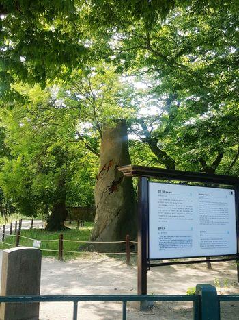 신비로운 신라의 전설적인 나무. Tree of Legends of the Silla Korea History Gyeongju Gyelim