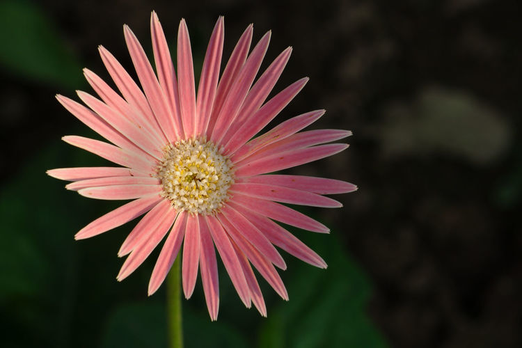 Close-up of pink daisy flower