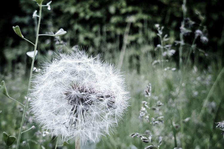 Dandelion Green