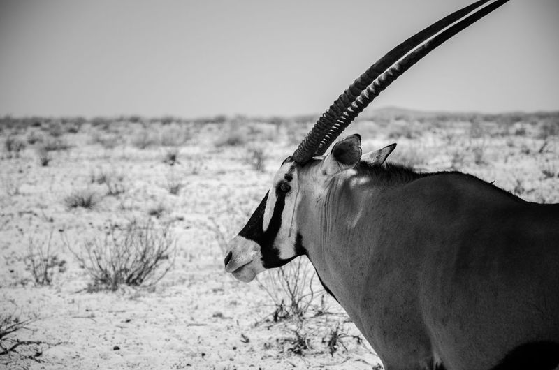 Close-up of gemsbok on landscape against clear sky