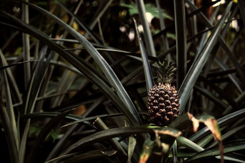 This pineapple seems to be alone. Pineapple Pine Green Color Beauty In Nature Plant Outdoors Growth Nature Freshness Day Green Orange Orange Color Food Foodporn Foodphotography Food Photography Alone Loneliness Lonely Fruit Fruits Leipzig Zoo Notinwildlife