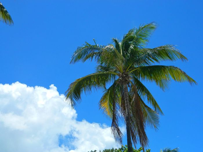 Beautiful Tropical Day Palm Trees Blue Sky Cloud - Sky Palm Tree Beauty In Nature Tropical Climate Tree Nature Sunlight Summer Miami Beach Tropical Tropical Paradise Tropical Plants Low Angle View Treetop Miles Away
