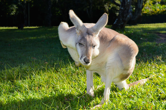 Animal Animal Themes Australia BOUNCE Day Grass Hungry Kangaroo Mammal Nature No People One Animal Outdoors Scratch Scratching Stretching Tourist Tourist Life Travel Work And Travel Yawning EyeEmNewHere