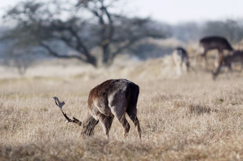 Stag Grazing In The Wild