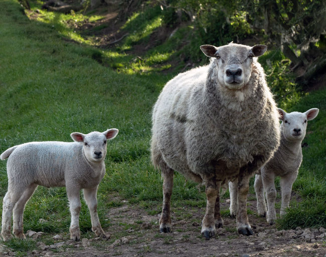 Portrait of sheep standing in farm