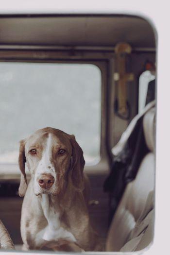 Companion Dog Canine Domestic One Animal Pets Domestic Animals Mammal Car Portrait Animal Themes Animal Indoors  Looking At Camera Transportation Mode Of Transportation