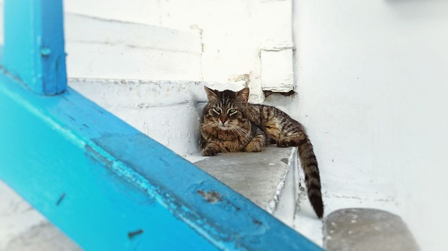 Cat Cats Of Mykonos Beautiful Creatures Animals Mykonos Greece