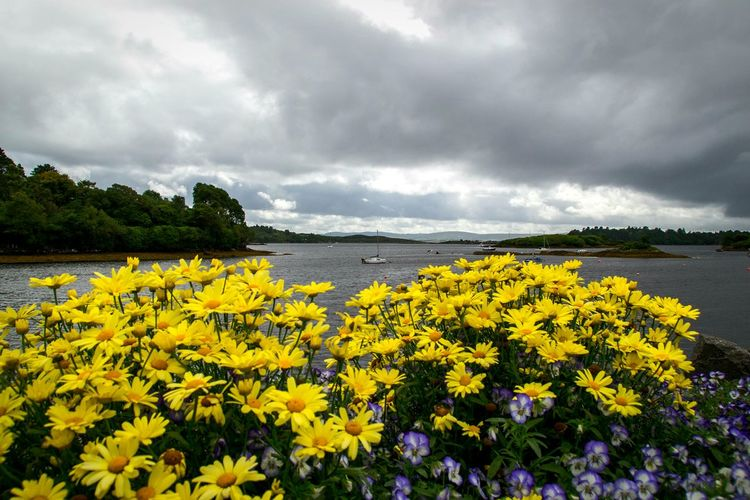 TakeoverContrast Yellow Flower Water Beauty In Nature Freshness Fragility Sea Tranquil Scene Growth Nature Tranquility Vibrant Color Scenics Cloud Petal Sky Plant Blossom Cloud - Sky Blooming Outdoors Clouds And Sky Ireland Paint The Town Yellow