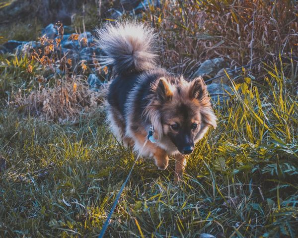 EyeEm Selects Dog Animal Themes Pets Domestic Animals Grass One Animal Field Mammal Day Outdoors No People German Shepherd Nature Portrait