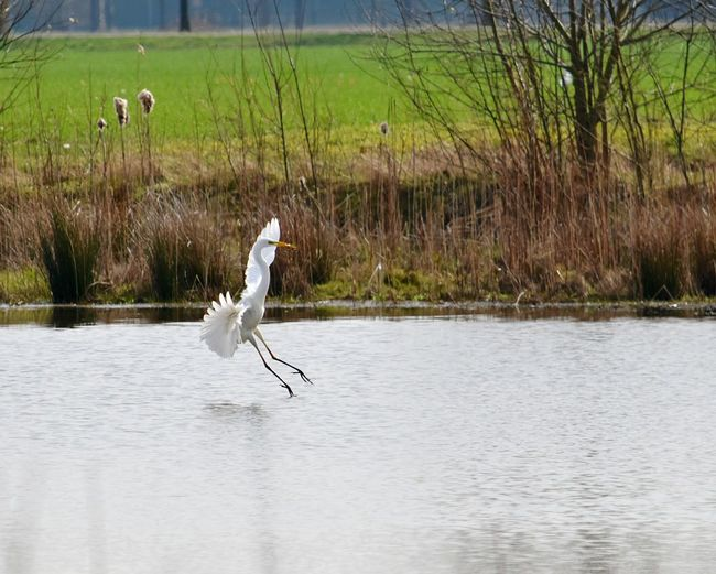 Spring Feelings Animals In The Wild Bird Animal Themes Water One Animal Animal Wildlife Nature Lake Waterfront Heron Stork Day No People Grass Great Egret Gray Heron Outdoors Perching Egret Wide Wings
