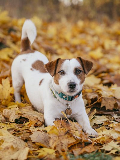 Portrait of dog with dry leaves