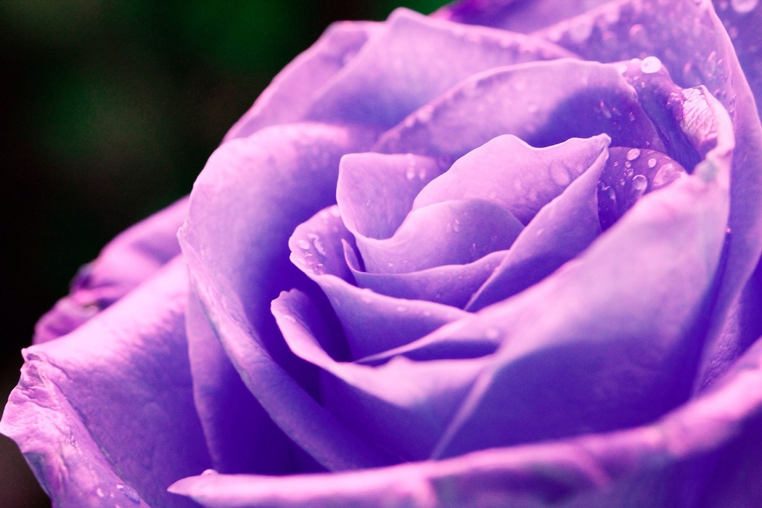 petal, flower, flower head, fragility, freshness, single flower, close-up, beauty in nature, focus on foreground, growth, rose - flower, nature, blooming, purple, selective focus, pink color, plant, in bloom, outdoors, softness
