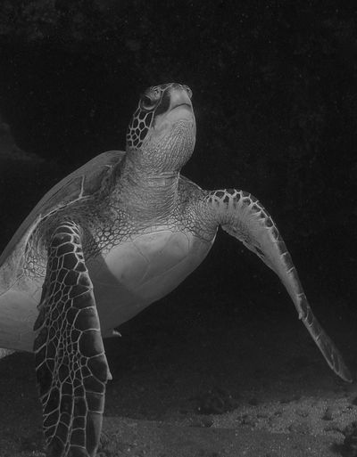 Black & White Chelonia Mydas Hawaii Honu Mala Wharf Maui Animal Wildlife Animals In The Wild Close-up Green Sea Turtle Marine Marine Life Nature One Animal Portrait Reptile Sea Sea Life Sea Life. Sea Turtle Turtle UnderSea Underwater Vertebrate Water