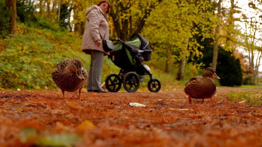 Surface Level View Of Ducks Against Woman With Baby Carriage At Park