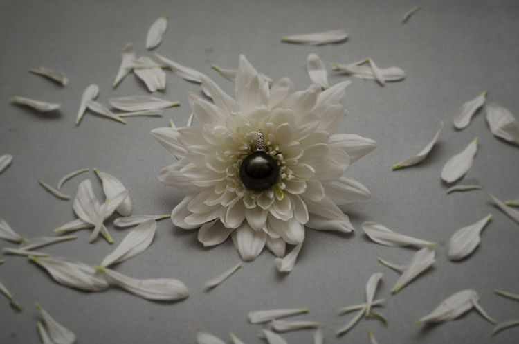 Black pearl on chrysanthemum flower Black Pearl Blooming Chrysanthemum Close-up Conceptual Photography  Flower Flower Head Fragility Freshness Jewel Jewelry No People Pearl Petal Product Photography White Color