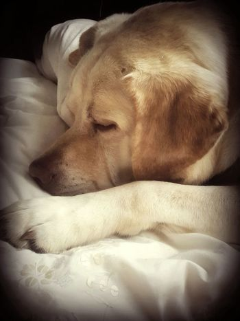 EyeEm Vision EyeEm Dogs Labrador Pastel Power Creme Caramel Sleeping Mansbestfriend My Bestfriend