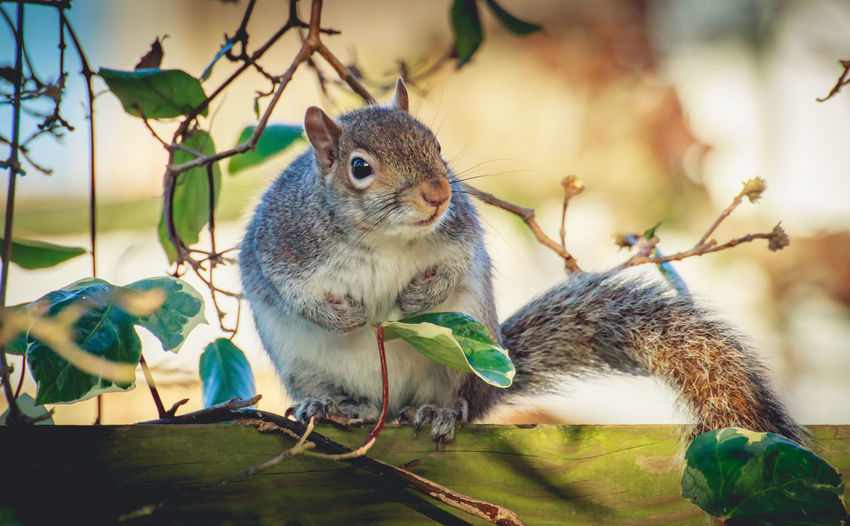 Nature On Your Doorstep Squirrel United Kingdom Animal Themes Animal Wildlife Animals In The Wild Close-up Cute Cute Animals Day Fluffy Focus On Foreground Grey Squirrel Mammal Nature Nature_perfection No People One Animal Outdoors Perching Spring Springtime Uk