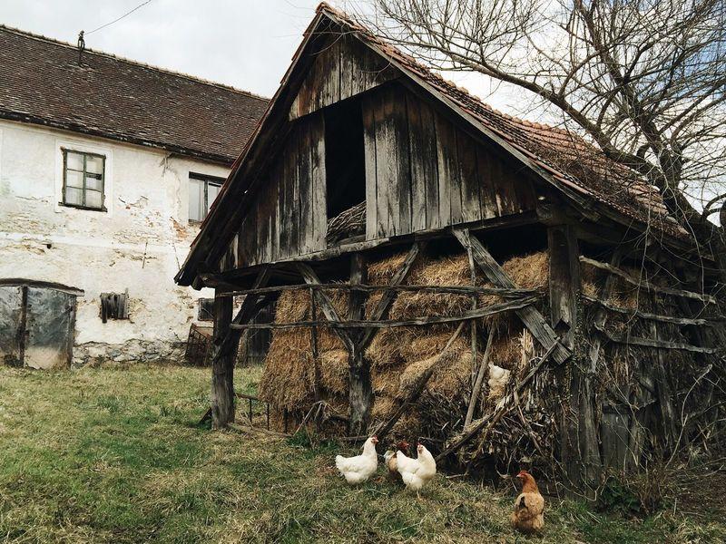 Klake, Samobor, Croatia, 2017. Klake Okic Samoborsko Gorje Freerange Free Range Chickens Chicken - Bird Village Hay Vintage Old Croatia Samobor Domestic Animals