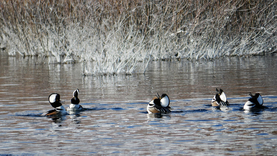 Animal Themes Animal Wildlife Animals In The Wild Beauty In Nature Bird Dancing Mergansers Day Hooded Merganser Lake Merganser Nature No People Outdoors Swimming Water Waterfront