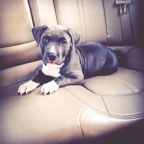 I Love My Pitbull Doglovers Dogoftheday Pitbull Love PitBullNation Pets_perfection My Pitbull Pitbulllover Pitbull Puppy Cute Pets