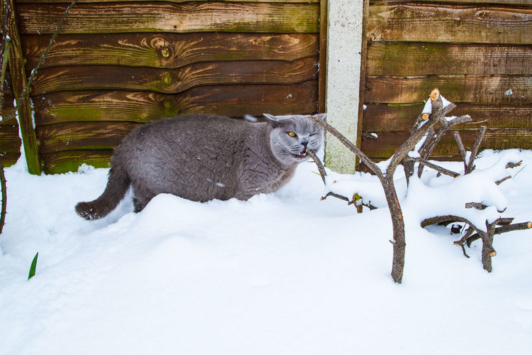 Cat in snow covered garden during winter