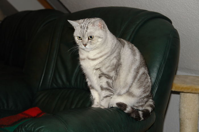 Animal Themes Black Background British Shorthair Cat Day Domestic Animals Domestic Cat Indoors  Mammal No People One Animal Pets Sitting