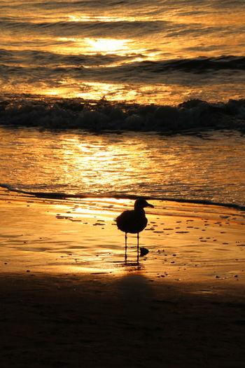 Silhouette bird on beach against sky during sunset