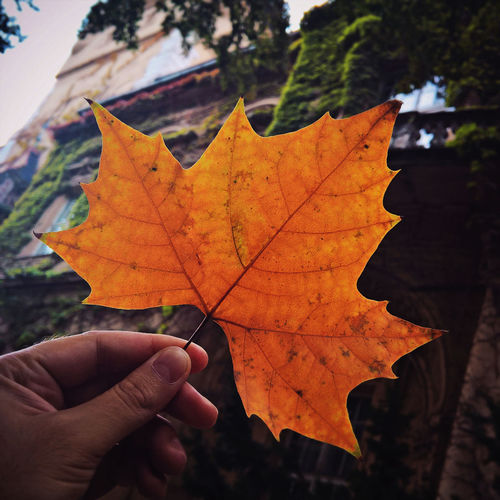Cropped Hand Of Man Holding Dry Maple Leaf