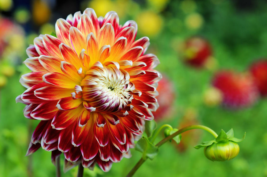 Flowerbed with orange red Dahlias. Flower Flower Head Petal Red Flower Flowerbed Nature Single Flower Dahlien Orange Color Orange Flower Garden DahliaGarden Dahlia Flowers Dahlias Dahliaflowers Dahlia Summer In Bloom Blossom Blooming White