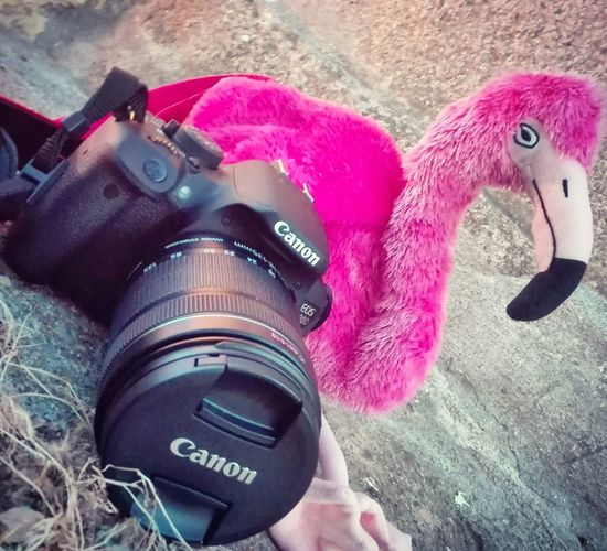 Pink Color Flamingo Photoshoot Photographer Canon 700D Photographing Photo Photography MyPrespective