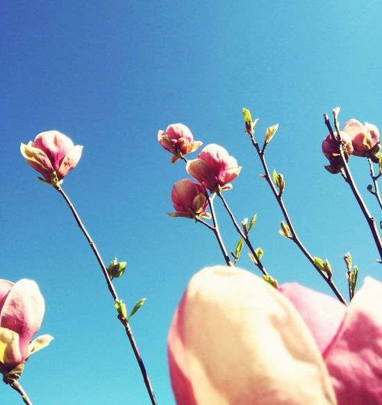 Flowers Pink Color Nature Growth Sky Clear Sky Beauty In Nature Springtime Freshness No People