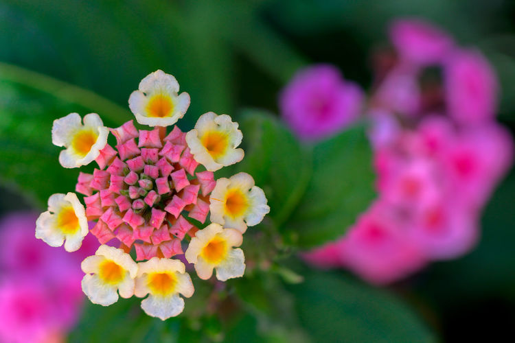Directly Above Shot Of Lantana Camara