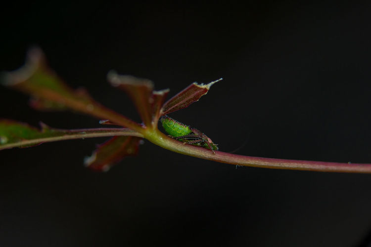 Green Color Macro Photography Red Animal Wildlife Animals In The Wild Beauty In Nature Black Background Close-up Garden Insect Leaf Macro Nature No People Outdoors Small