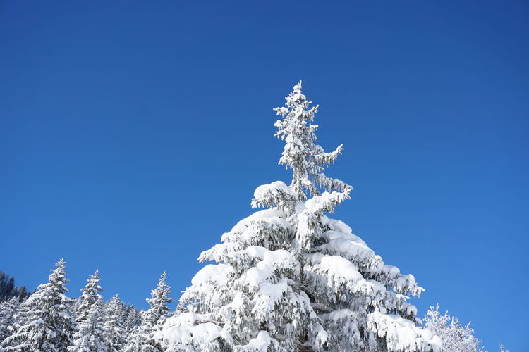Low angle view of frozen tree against clear blue sky