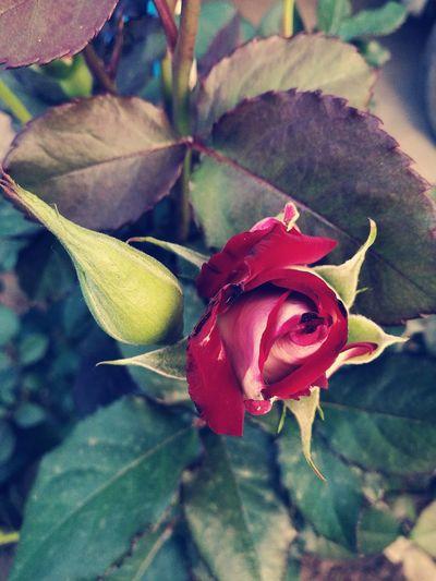 Beautifulrose Flowers Flowermania Flowermagic🌱 Nature Only Roses ❤️👌 Red Flower Redrose 🌷🌷🌷 Photooftheday