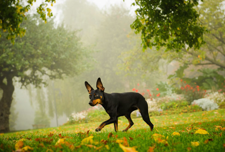Miniature Pinscher dog Animal Themes Day Dog Domestic Animals Grass Mammal Min Pin Miniature Miniature Pinscher No People One Animal Outdoors Park Pets Pinscher Purebred Dog Small Dog Tree Walking