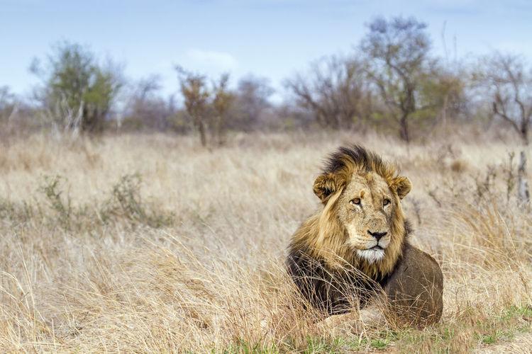 Lion sitting on field at kruger national park